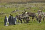 King Penguins  Aptenodytes Patagonicus  Among Grazing Caribou  Rangifer Tarandus