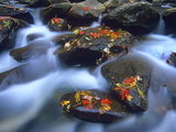 Autumn Leaves on Wet Boulders in Stream  Great Smoky Mountains National Park  North Carolina