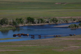 Horses Cross a River on the Mongolian Steppe