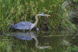 A Great Blue Heron Wades at the Edge of a Pond Near the Occoquan River in Northern Virginia