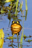 Portrait of a Male Pig Frog Mostly Submerged with its Head Above Water