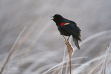 A Redwing Blackbird  Agelaius Phoeniceus  in the Nebraska Sandhills