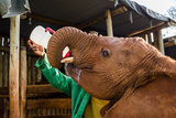 An Orphaned African Elephant Calf Feeding on a Bottle of Milk in a Wildlife Shelter Corral