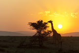 A Masai Giraffe  Giraffa Camelopardalis Tippelskirchi  Browsing at Sunset