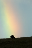 A Silhouetted American Bison  Bison Bison  Grazing under a Rainbow