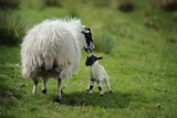 A Ewe and Newborn Lamb in Breascleit on the Isle of Lewis