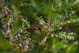 A Red Squirrel Peeks Out Through the Branches of an Evergreen Tree