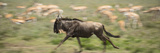 A Wildebeest on the Run in Serengeti National Park  Tanzania
