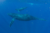 A Mother Humpback Whale and Her Calf Swim in the Pacific