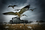 Seagulls Fly over a House on a Wintery Day in the Outer Banks of North Carolina