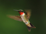 A Male Ruby-Throated Hummingbird  Archhilochus Colubris  in Flight