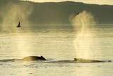 Geysers of Spray from Two Humpback Whales Exhaling in Inside Passage