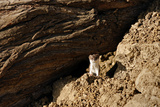 A Weasel Stands Amid a Rocky Landscape in the Alborz Mountains