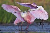 Roseate Spoonbills  Platalea Ajaja  Landing on Lake Corpus Christi