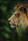 Profile Portrait of a Male Lion Furrowing His Mane in a Forest at a Sanctuary for Big Cats