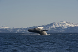 A Humpback Whale Breaching Off the Mountainous Coast of Alaska