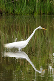 A Hunting Great Egret  Ardea Alba  Casting a Reflection in a Pond