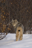 A Canadian Lynx  Lynx Canadensis  Looking over it's Shoulder in Snow