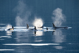 Killer Whales  or Orcas Swimming in Frederick Sound  Inside Passage  Alaska