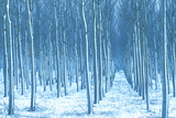 Rows of Cultivated Poplar Trees with Wind-Blown Snow on their Trunks