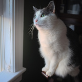Portrait of a Pet Grey and White Tuxedo Cat Sitting by a Window at Sunset