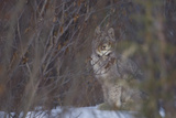 A Canadian Lynx  Lynx Canadensis  Looking Through Tree Branches