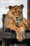 A Lioness with a Furrowed Brow Resting on a Platform at a Sanctuary for Big Cats