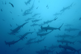 Silhouetted Scalloped Hammerhead Sharks Swimming Among Smaller Fish