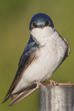 Portrait of a Tree Swallow Perched on a Metal Pipe Along the Occoquan River