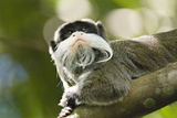 Small  400 Gram  Emperor Tamarins are Agile and Leap Easily
