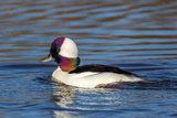 A Male Bufflehead Duck's Head Shows an Iridescent Rainbow of Color