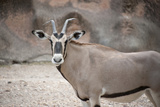 An East African Oryx  Oryx Beisa  at the Gladys Porter Zoo in Brownsville  Texas