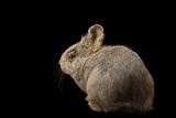 A Rare Female Columbia Basin Pygmy Rabbit  Brachylagus Idahoensis