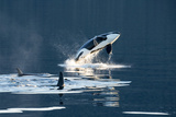 Killer Whales  or Orcas Leaping and Swimming in Frederick Sound  Inside Passage  Alaska