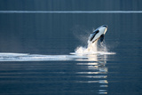A Killer Whales  or Orca Leaping in Frederick Sound  Inside Passage  Alaska