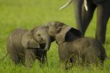 Two Elephant Calves Playing Between the Herd  Botswana