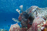 A Lion Fish and Fish Schooling in Blue Water over Reef  Pterois Volitans