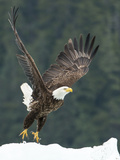 A Bald Eagle Takes Flight Near Petersburg  Inside Passage  Alaska