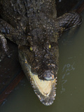 A Crocodile Snaps its Teeth in the Waters of Tonle Sap