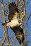 Portrait of an Osprey  Pandion Haliaetus  in Flight Near the Occoquan River