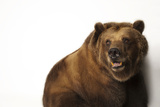 A Federally Threatened Grizzly Bear  Ursus Arctos Horribilis