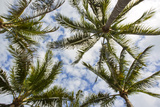 Looking Up into the Crown of Palm Trees  Against a Cloud-Filled Sky