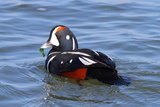 A Male Harlequin Duck  Histrionicus Histrionicus  Eating Sea Lettuce