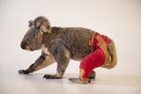 A Federally Threatened Koala Recuperates at an Animal Hospital