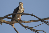 An Osprey  Pandion Haliaetus  Perched in a River-Side Tree with a Fresh-Caught Fish