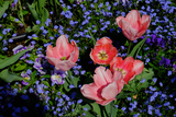 Pink Tulips Against a Bed of Forget Me Nots in Monet's Garden in Giverny