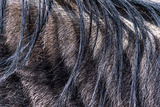The Wispy Mane Hairs of a Blue Wildebeest Hang across its Shoulder