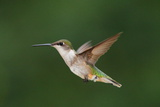 A Female Ruby-Throated Hummingbird  Archhilochus Colubris  in Flight