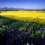 A Rape Field and Bluebells in County Down  Northern Ireland