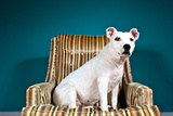 A White Pit Bull Mix Dog in a Striped Chair  Looking at the Camera